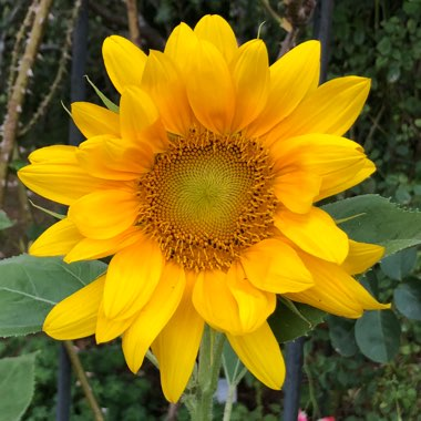 Helianthus annuus 'Russian Giant'