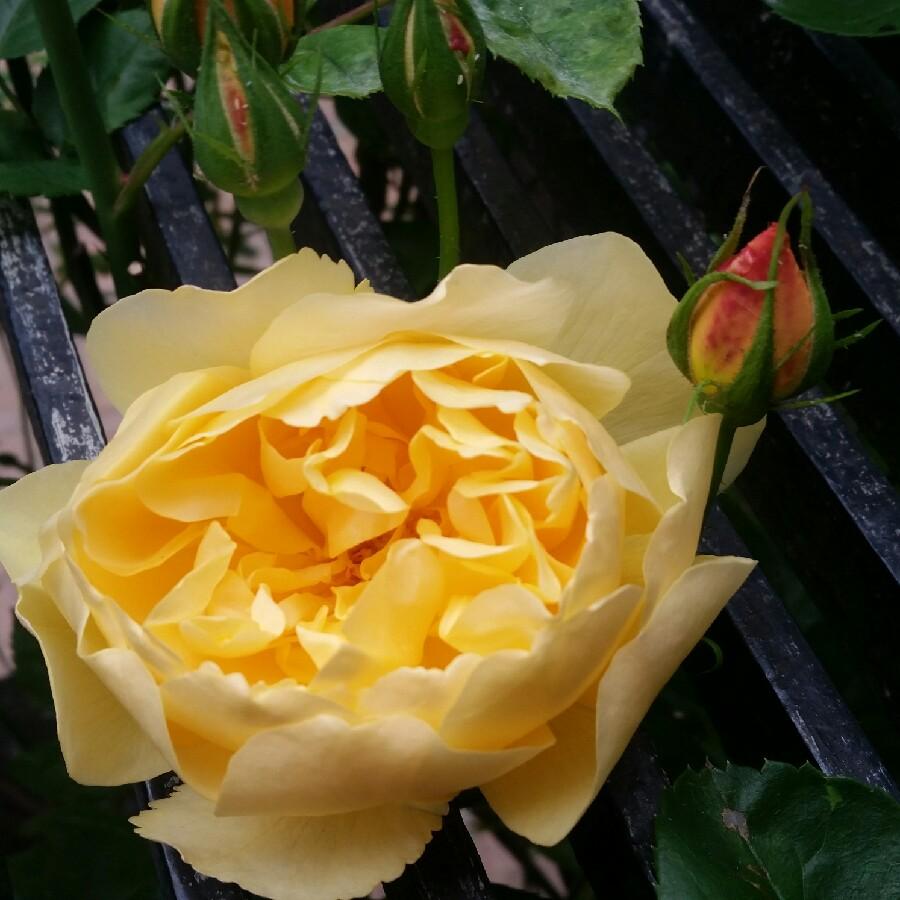 Rosa graham thomas ausmas rose graham thomas uploaded by plant image 85173 thecheapjerseys Images