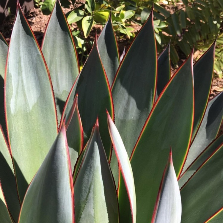 Plant image Agave tequilana