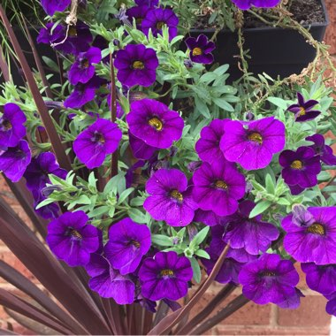 Calibrachoa Cabaret 'Deep Blue'
