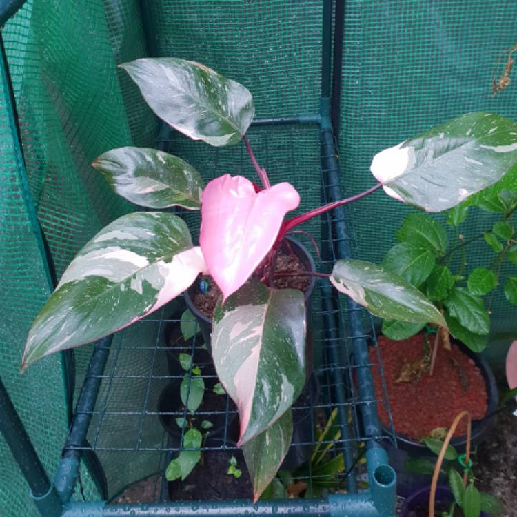 Plant image Philodendron 'Pink Princess' syn. Philodendron erubescens 'Pink Princess'