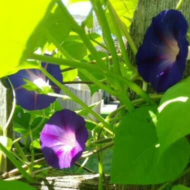 Morning Glory 'Grandpa Ott'