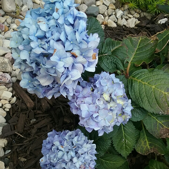 Plant image Hydrangea macrophylla 'Endless Summer® BloomStruck®'