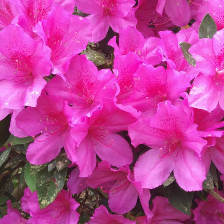 Plant image Rhododendron 'Kermesina'