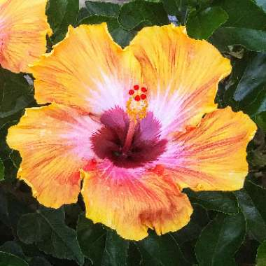 Hibiscus 'Social Butterfly'