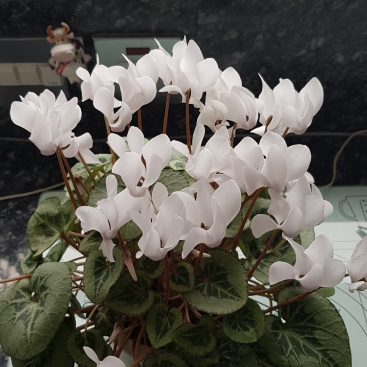 Plant image Cyclamen 'Halios Pure White' (Halios Series)