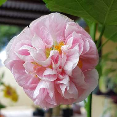 Flowering Maple 'Victorian Lady'