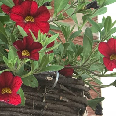 Petunia 'Trailing Deep Red'
