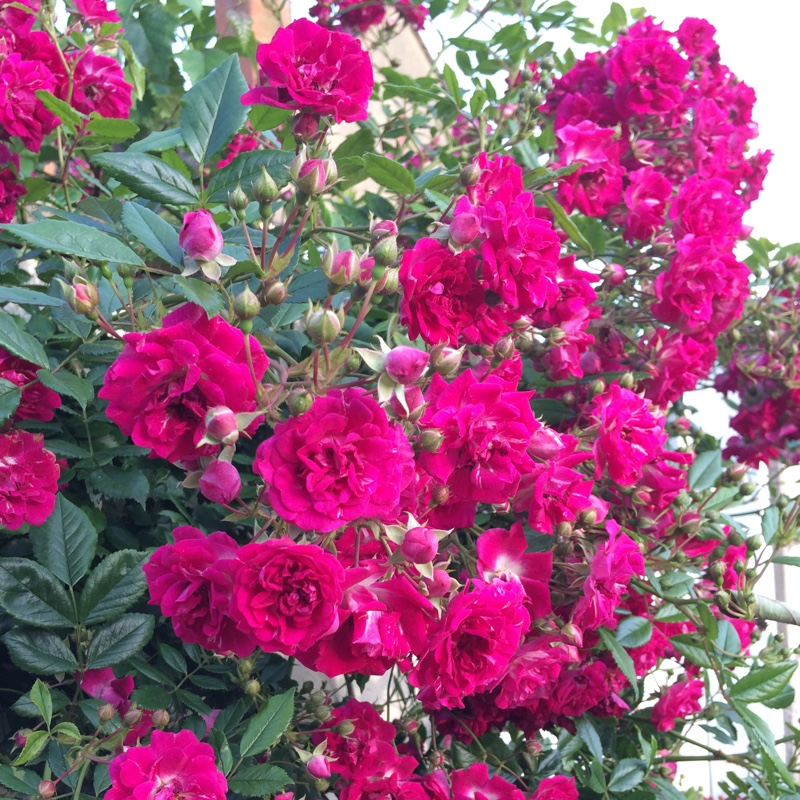 Rose 'Super Excelsa'