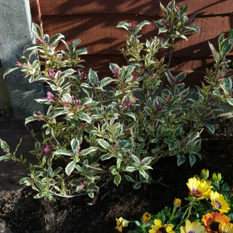 Plant image Weigela florida 'Kolmagira' syn. Weigela florida 'Magical Rainbow', Weigela florida 'Rainbow Sensation'