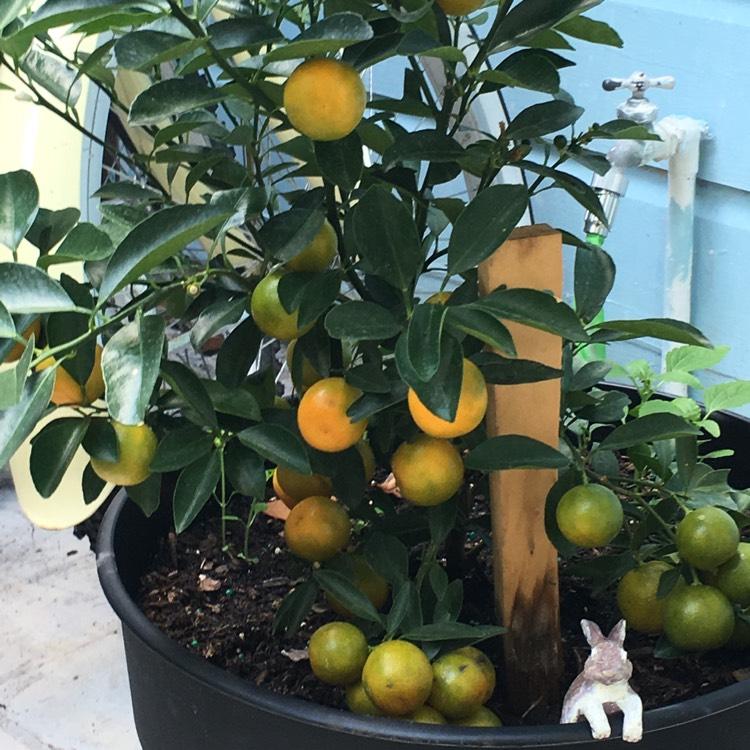 citrus x citrofortunella microcarpa syn citrus citrofortunella mitis citrus madurensis. Black Bedroom Furniture Sets. Home Design Ideas