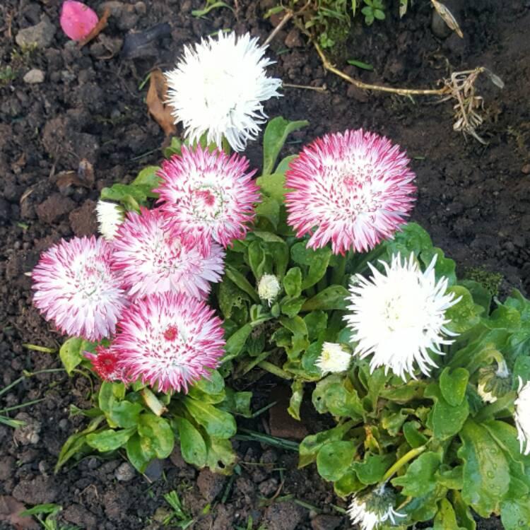 Bellis perennis habanera white with red tips pompom daisy plant image 364440 mightylinksfo