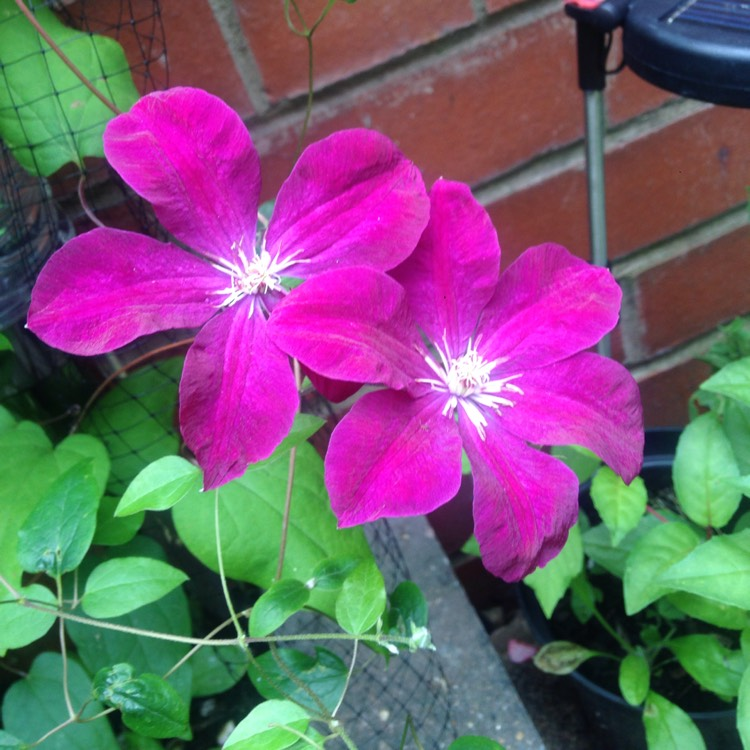 Plant image Clematis 'Hagley Hybrid'