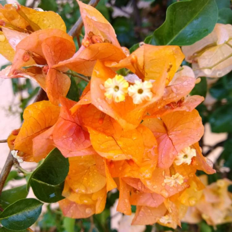Plant image Bougainvillea 'California Gold'