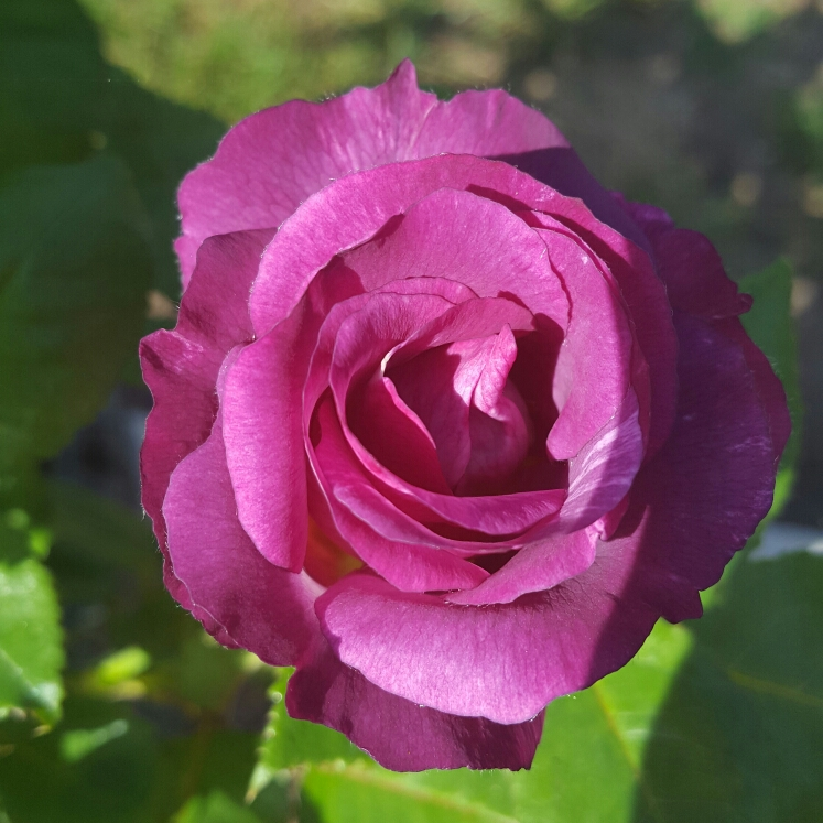 Plant image Rosa 'Blue For You' syn 'Pacific Dream'