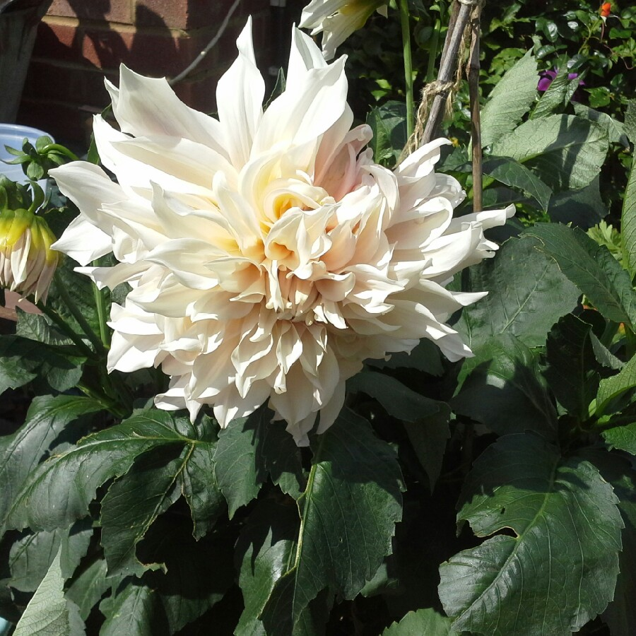 Dahlia 'Cafe au Lait' (Decorative)