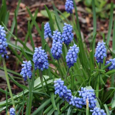 Grape Hyacinth (Species) Broad-Leaved Grape Hyacinth