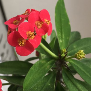 Crown Of Thorns 'Giant Red'