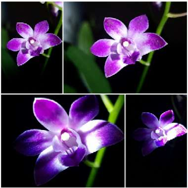 Orchid 'Berry Oda'