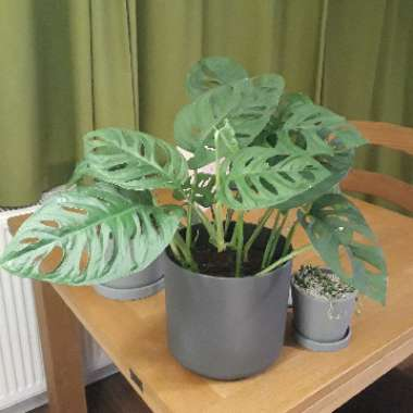 Adanson's Monstera