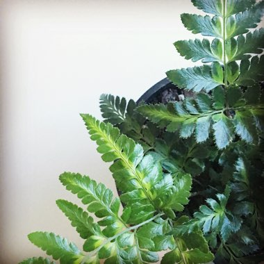 East Indian Holly Fern