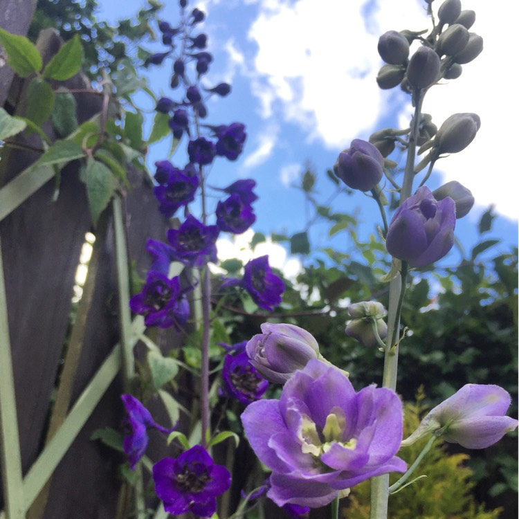 Plant image Delphinium 'Pacific Giants'
