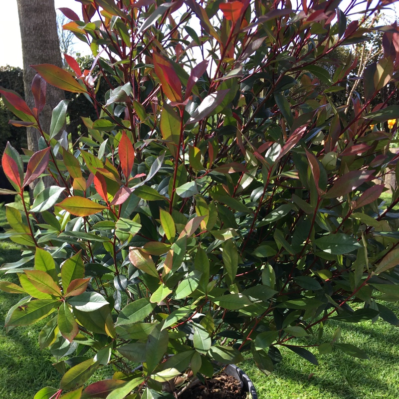 photinia x fraseri 39 robusta compacta 39 compact red robin uploaded by robbiec. Black Bedroom Furniture Sets. Home Design Ideas