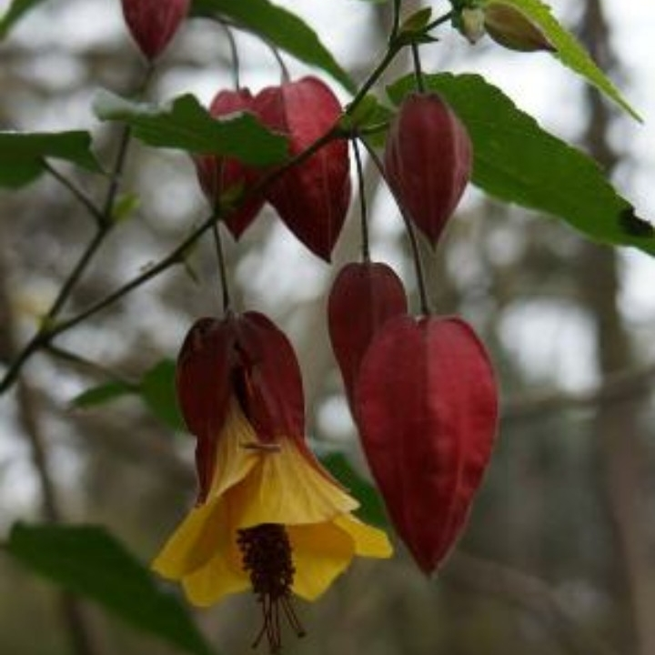 Plant image Abutilon 'Kentish Belle'