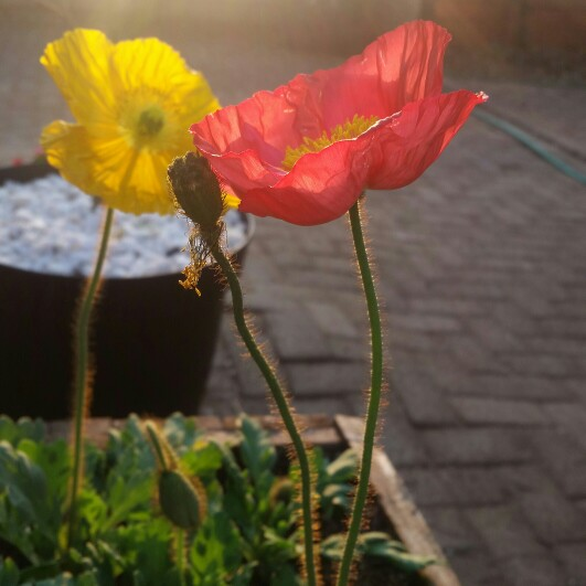 Plant image Papaver rhoeas 'Shirley Mixed' (Mix)