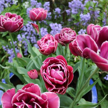 Tulip 'Dream Touch' (Double Late)