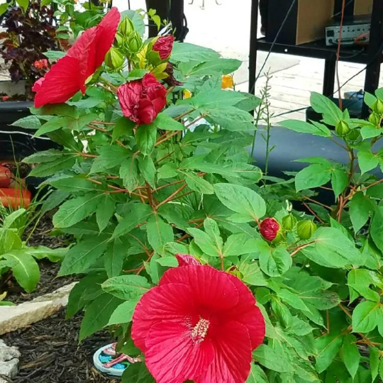 Hibiscus Moscheutos Luna Red Hibiscus Luna Red Uploaded By