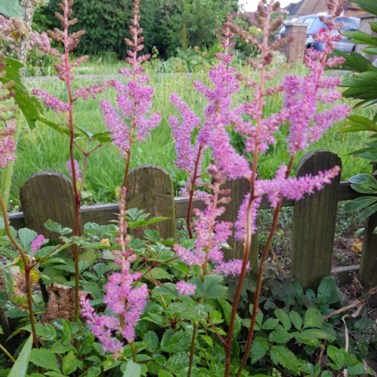 Plant image Astilbe x arendsii 'Amethyst'