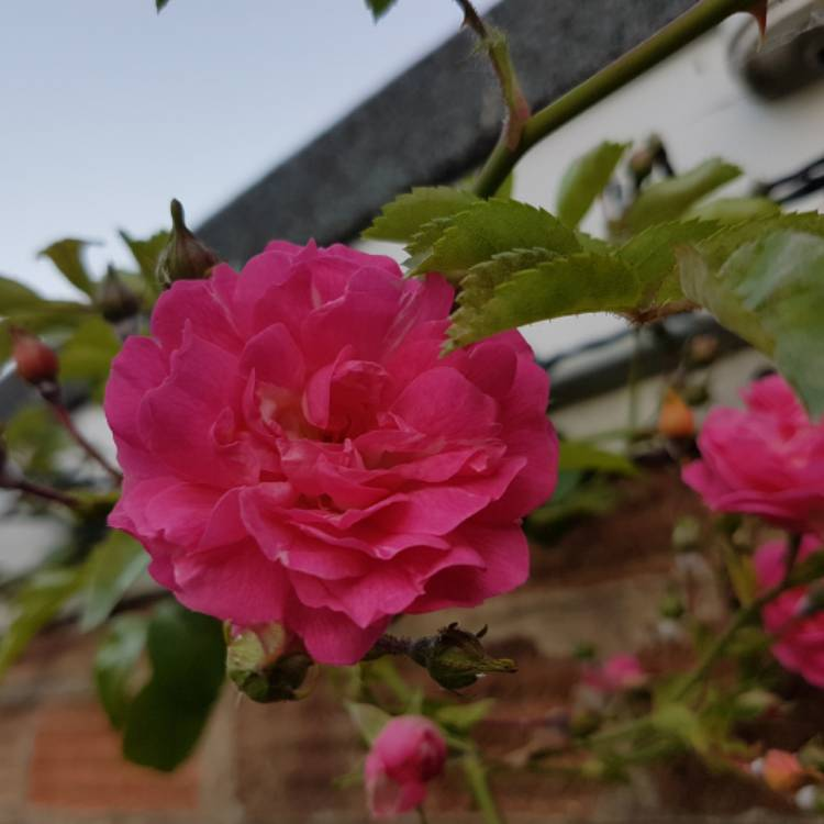 Plant image Rosa -Climbing roses