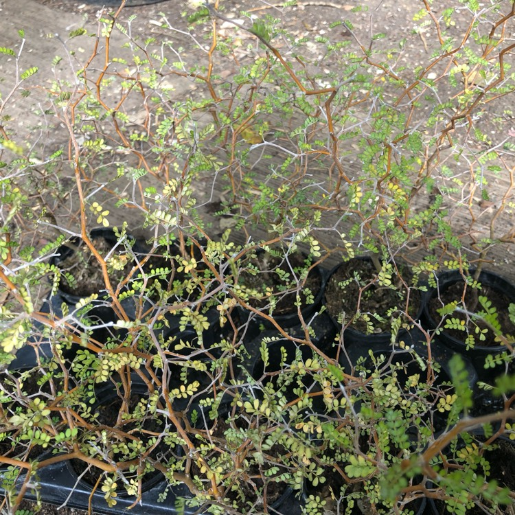 Plant image Sophora japonica 'Little Baby' syn. Styphnolobium japonicum
