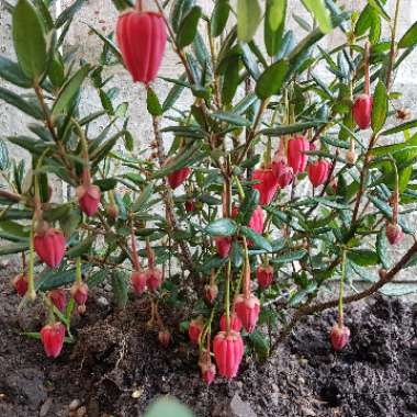 Chilean Lantern Tree