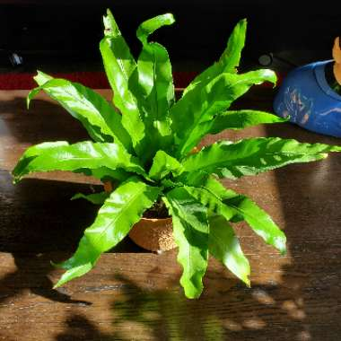 Birds Nest Fern 'Victoria'