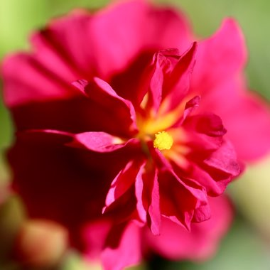 Rock Rose 'Cerise Queen'