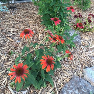 Coneflower 'Cheyenne Spirit' (Orange)
