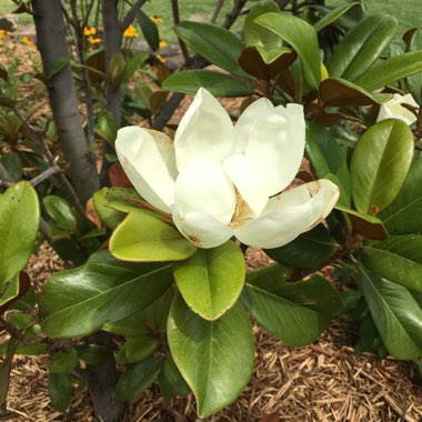Magnolia 'Teddy Bear'
