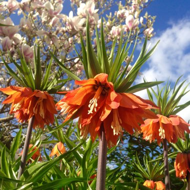 Crown Imperial 'Blom's Orange Perfection'