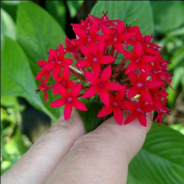Pentas 'Starcluster Red'