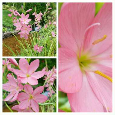 Hesperantha (Schizostylis) (unknown variety)