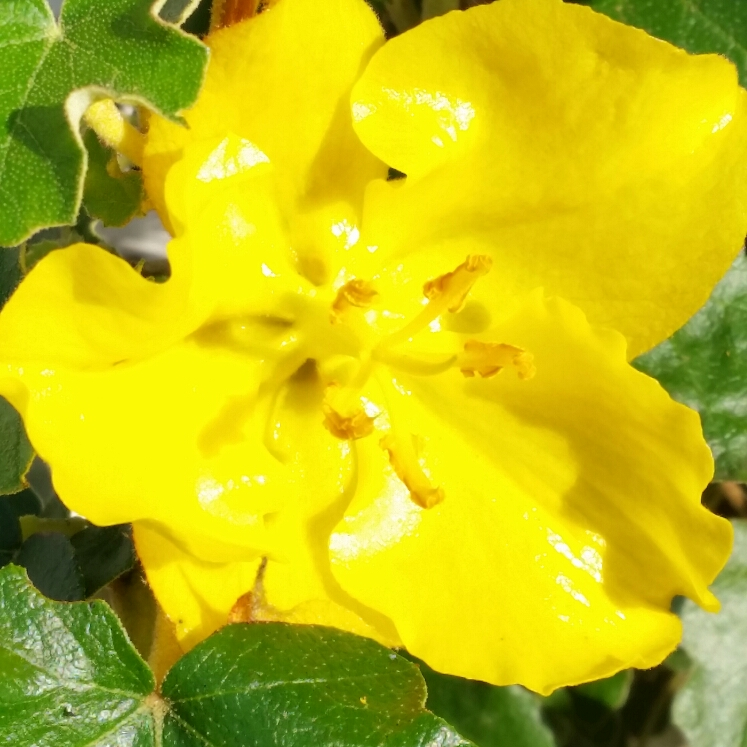 Plant image Fremontodendron