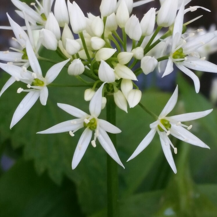 allium ursinum wild garlic uploaded by melvynprentice. Black Bedroom Furniture Sets. Home Design Ideas