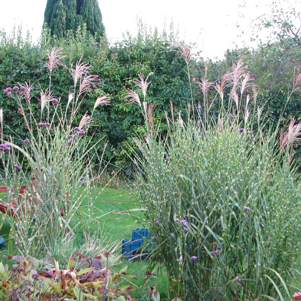 miscanthus sinensis 39 zebrinus 39 zebra grass uploaded by carolhen. Black Bedroom Furniture Sets. Home Design Ideas