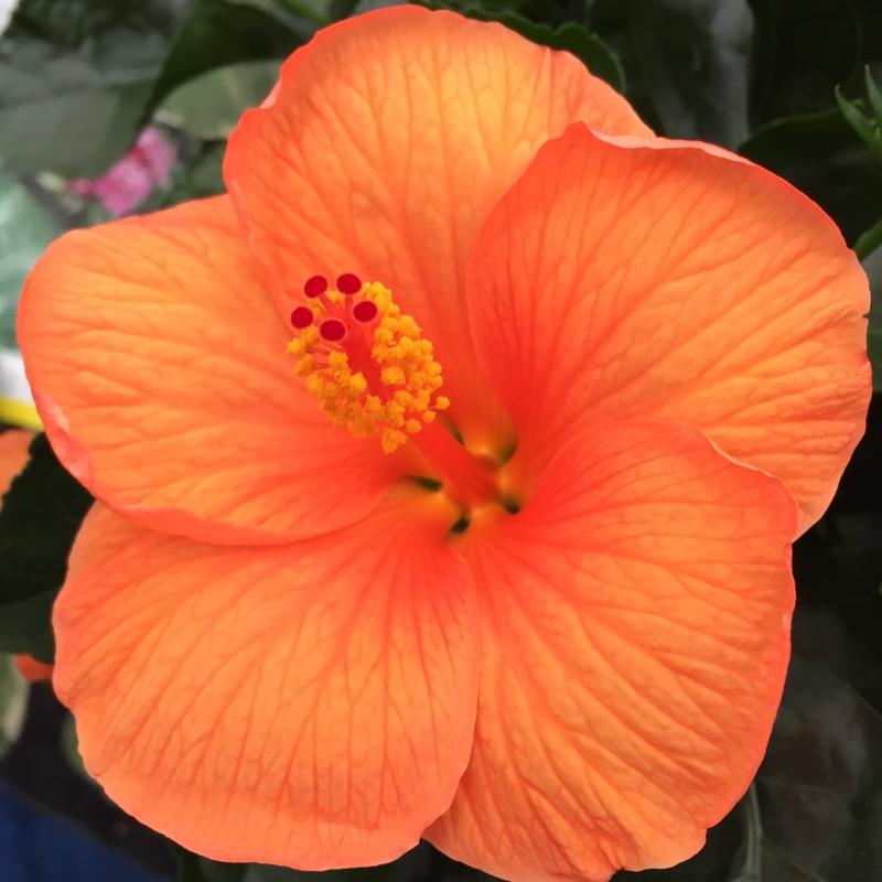Fiori Hibiscus.Hibiscus Fiori Grande Chinese Hibiscus Uploaded By Peverill