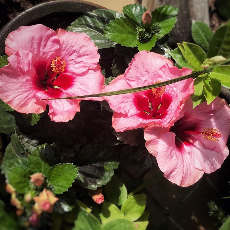 Hibiscus Moscheutos Luna Pink Swirl Pink Swirl Hibiscus