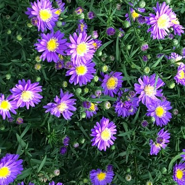 Aster 'Lilac Blue'