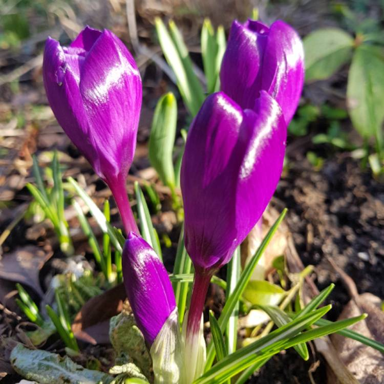 Plant image Crocus 'Ruby Giant' syn. Crocus tommasinianus 'Ruby Giant'