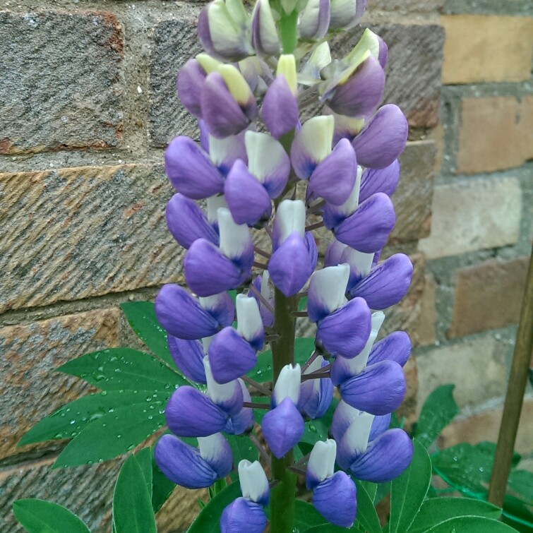 Plant image Lupinus 'The Governor'
